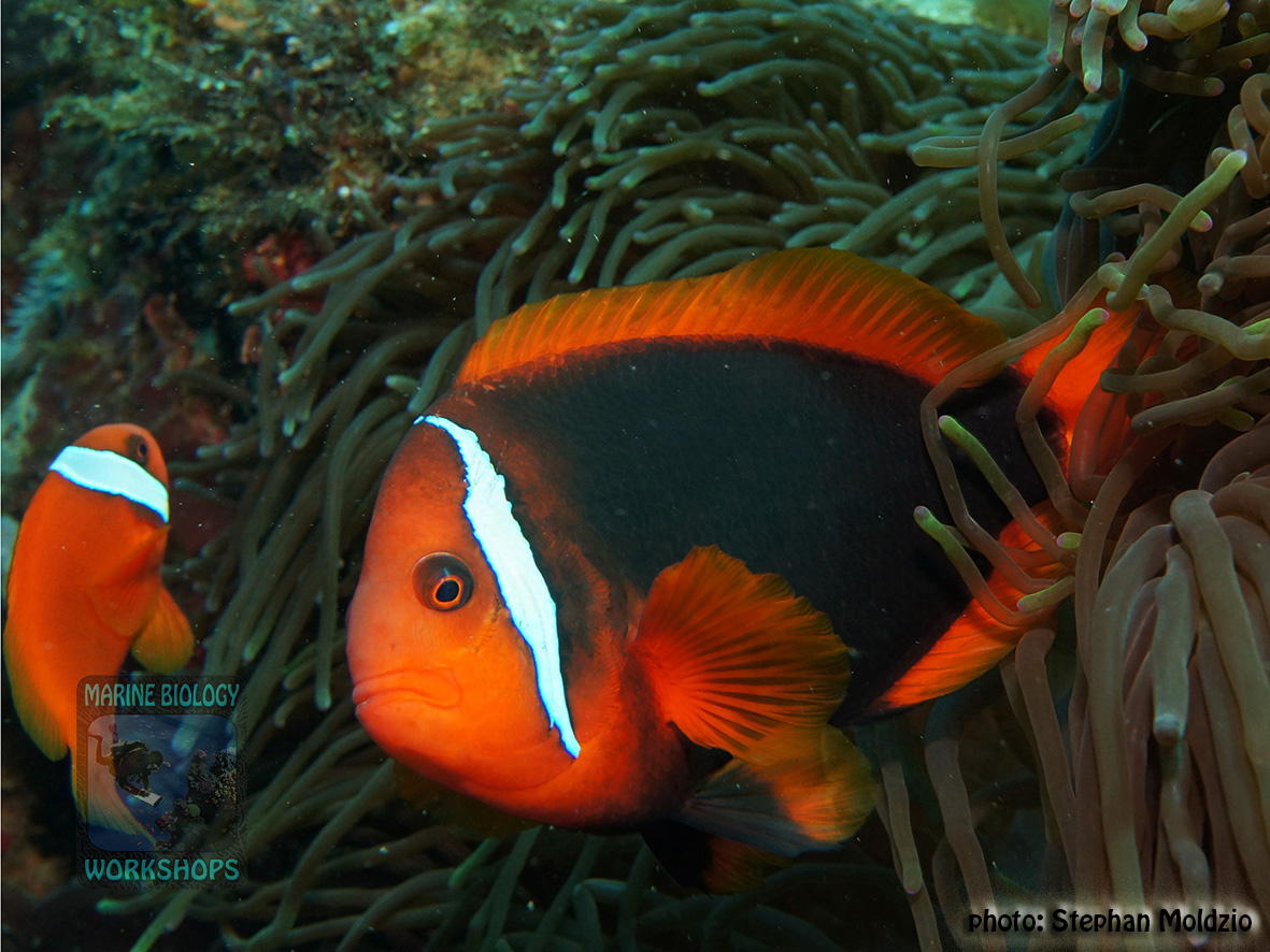 Amphiprion frenatus DSC02163