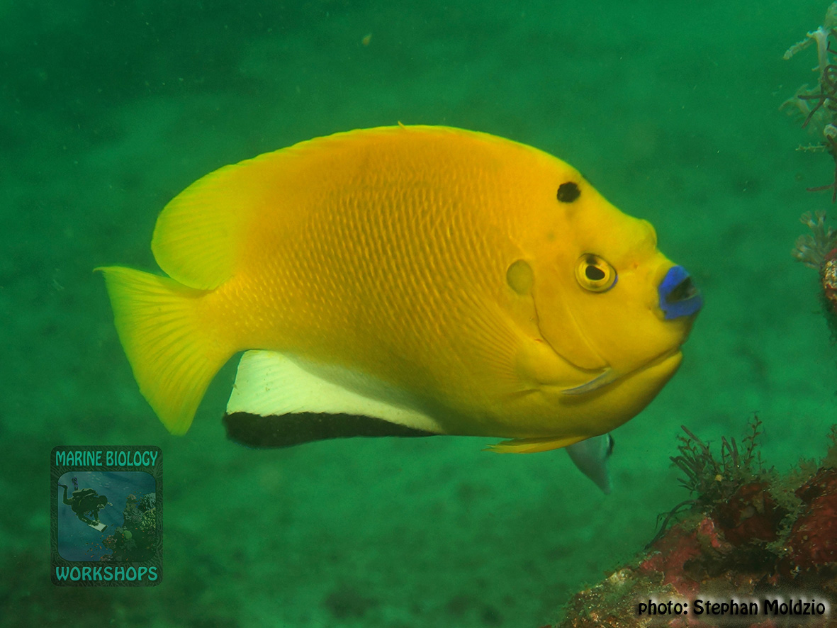 Apolemichthys trimaculatus DSC09236