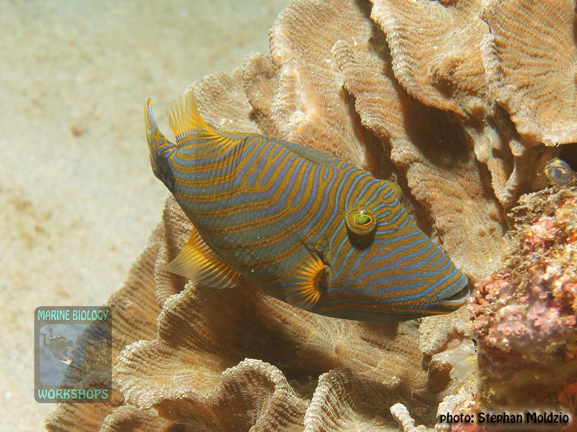 Balistapus undulatus DSC00739
