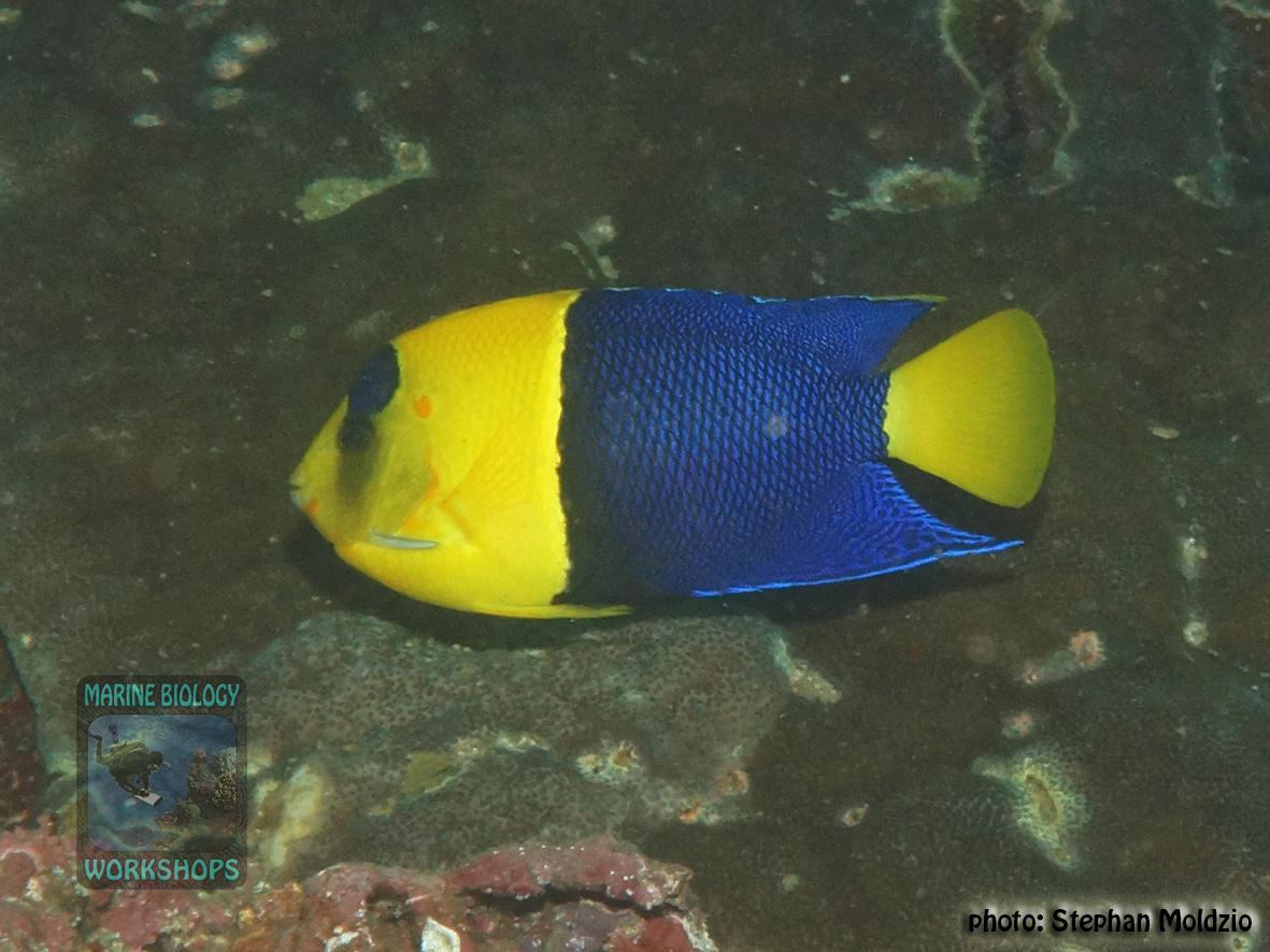 Centropyge bicolor DSC01152