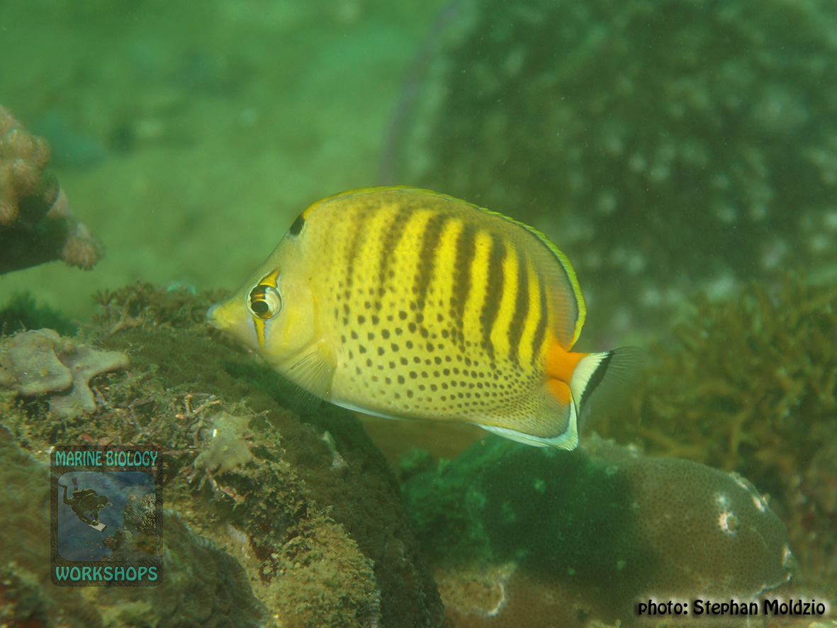 Chaetodon punctatofasciatus DSC08144