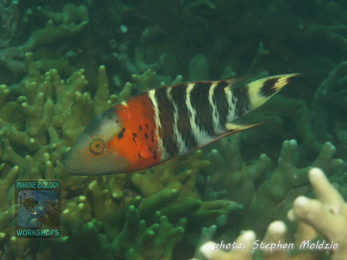 Cheilinus-fasciatus-DSC06548