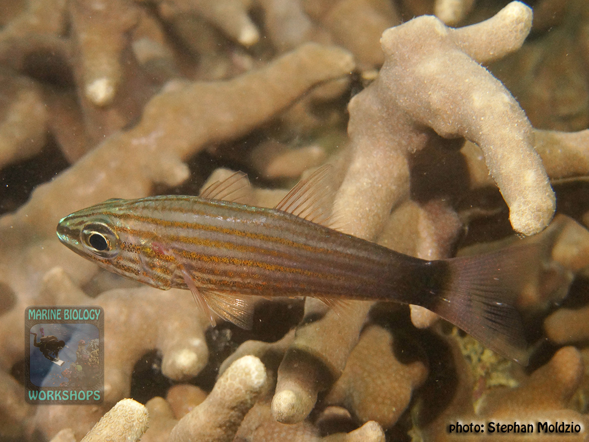 Cheilodipterus-artus-DSC03130