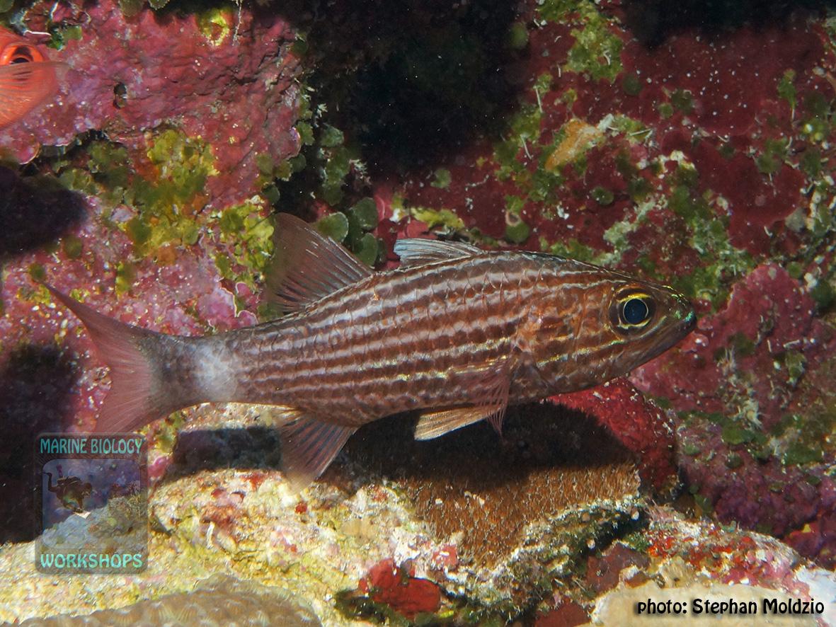 Cheilodipterus-macrodon-DSC02900