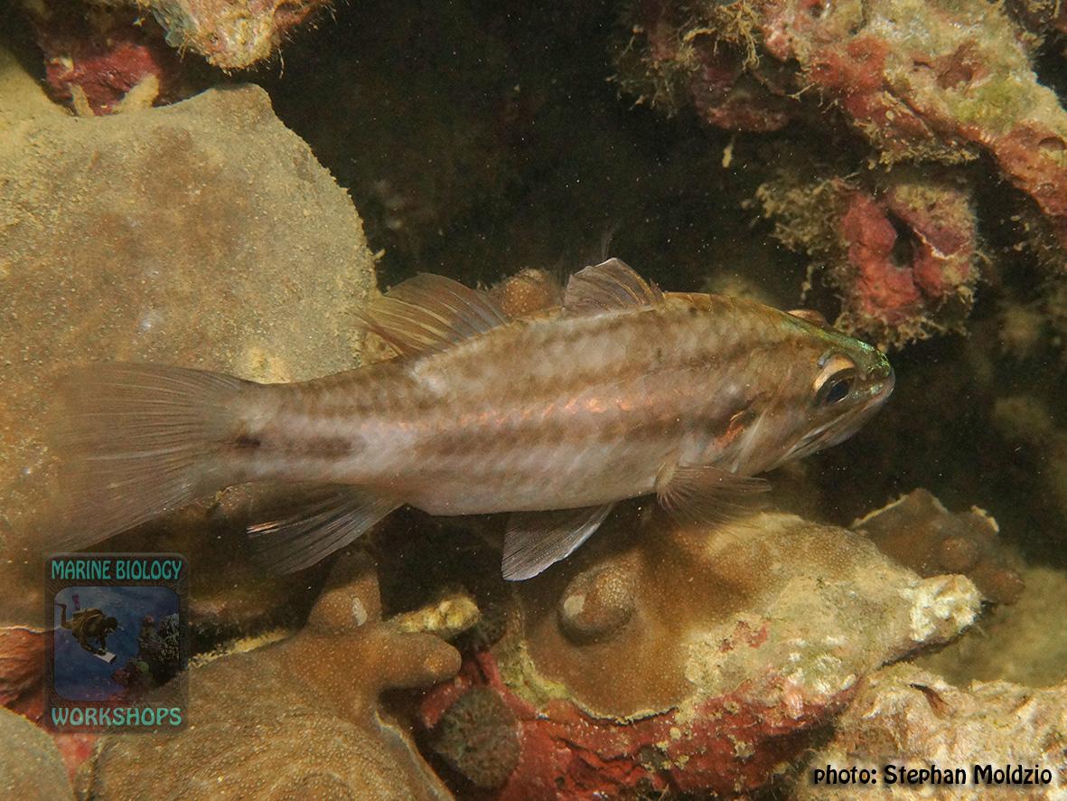 Cheilodipterus-singapurensis-DSC03147