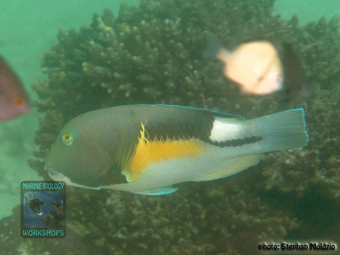 Choerodon anchorago DSC08419