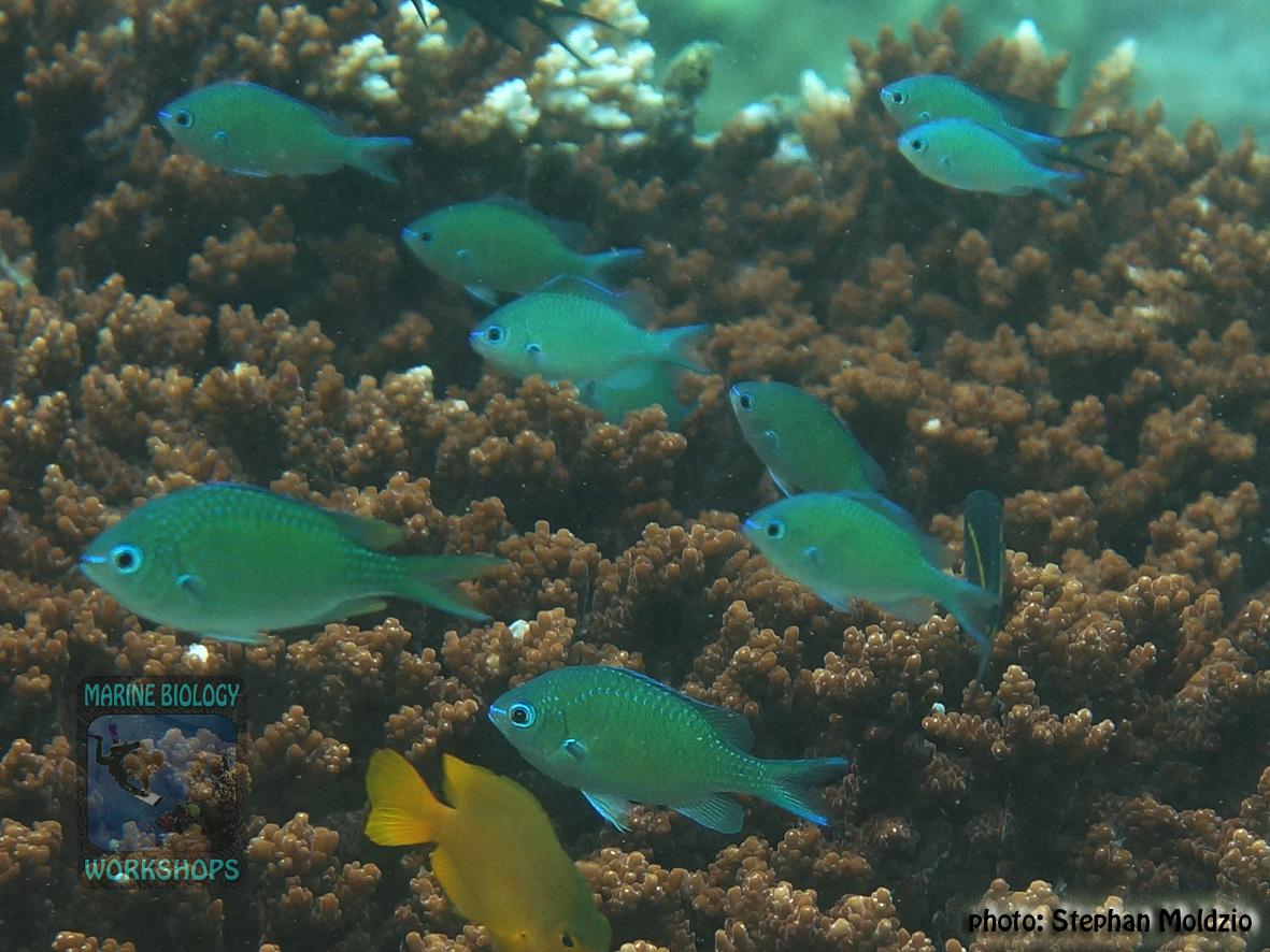 Chromis atripectoralis DSC09728