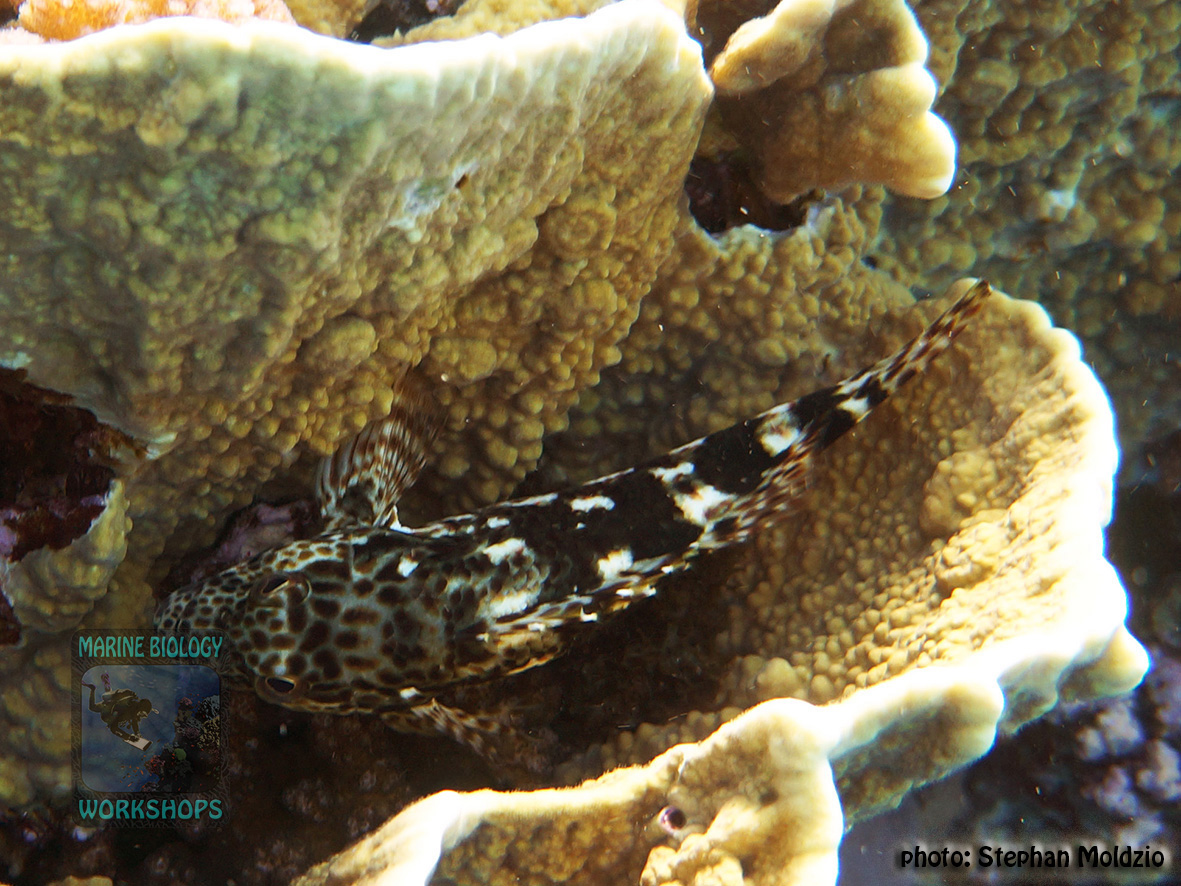 Cirrhitus pinnulatus DSC00056
