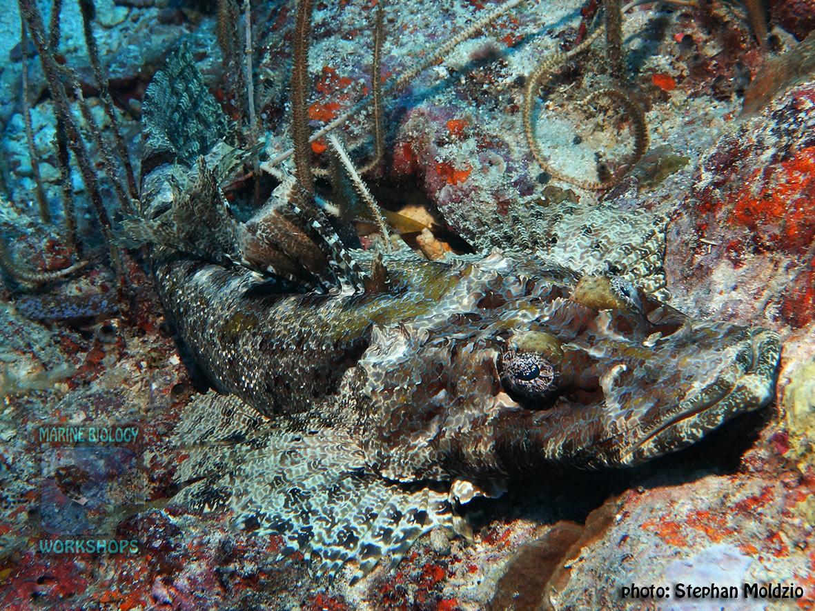 Cymbacephalus-beauforti-DSC03208