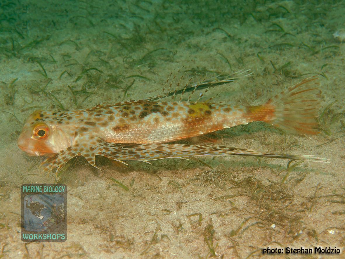 Dactyloptena orientalis DSC08677