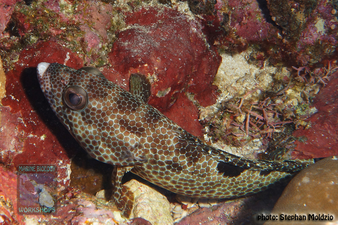 Epinephelus-hexagonatus-DSC03379
