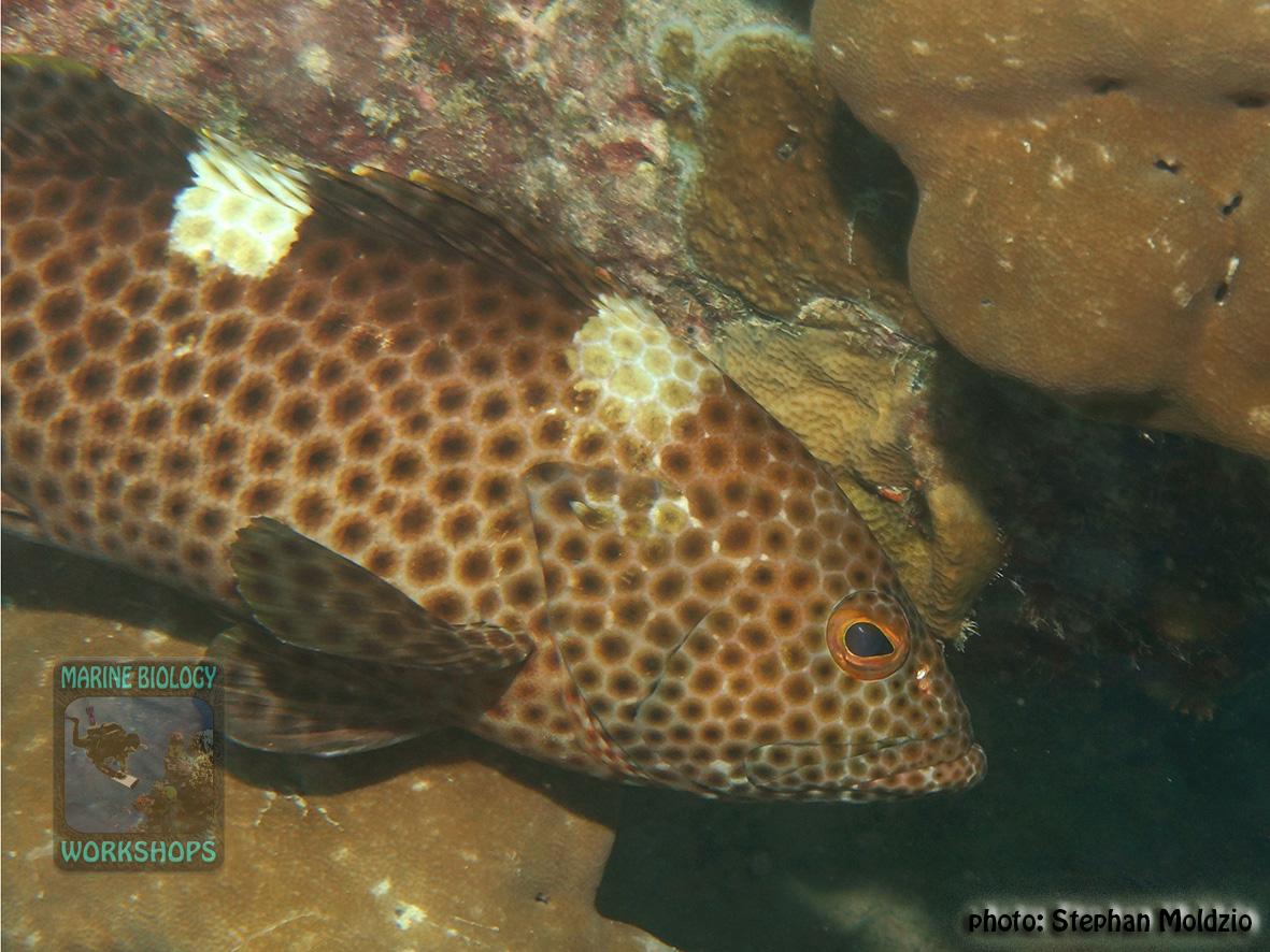 Epinephelus-maculatus-DSC04122