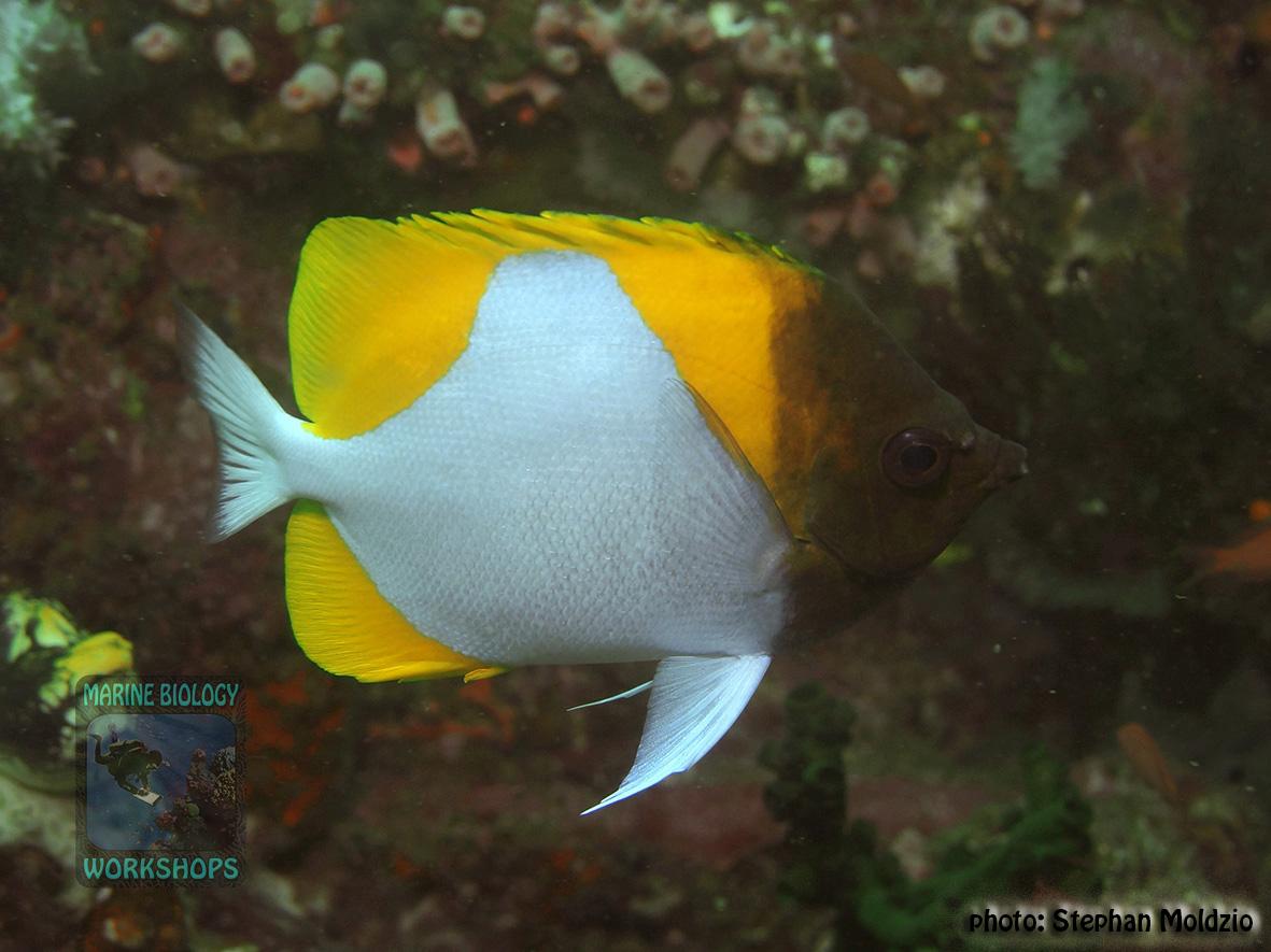Hemitaurichthys polylepis DSC09087