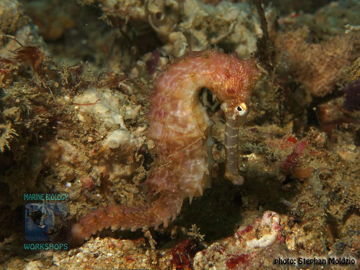 Hippocampus histrix DSC01555