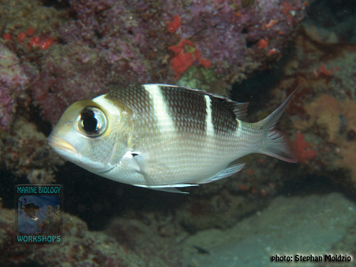 Monotaxis-grandoculis-juv.-DSC09118