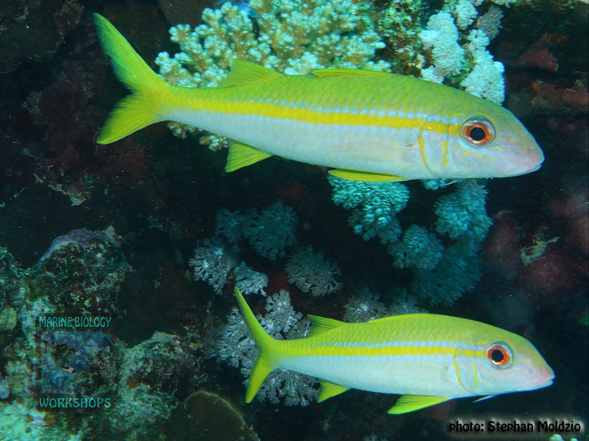 Mulloidichthys vanicolensis DSC04219