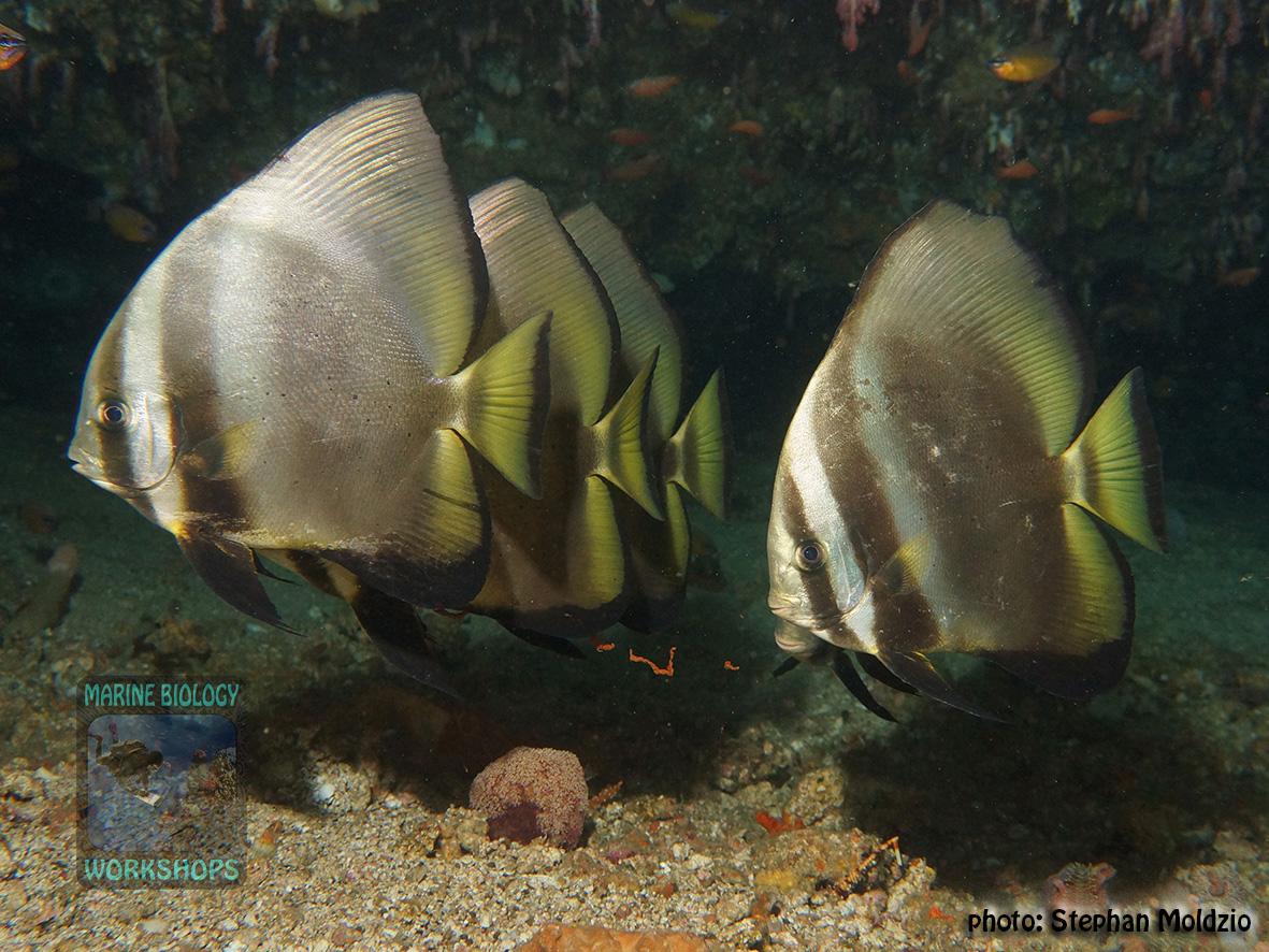 Platax orbicularis DSC00930