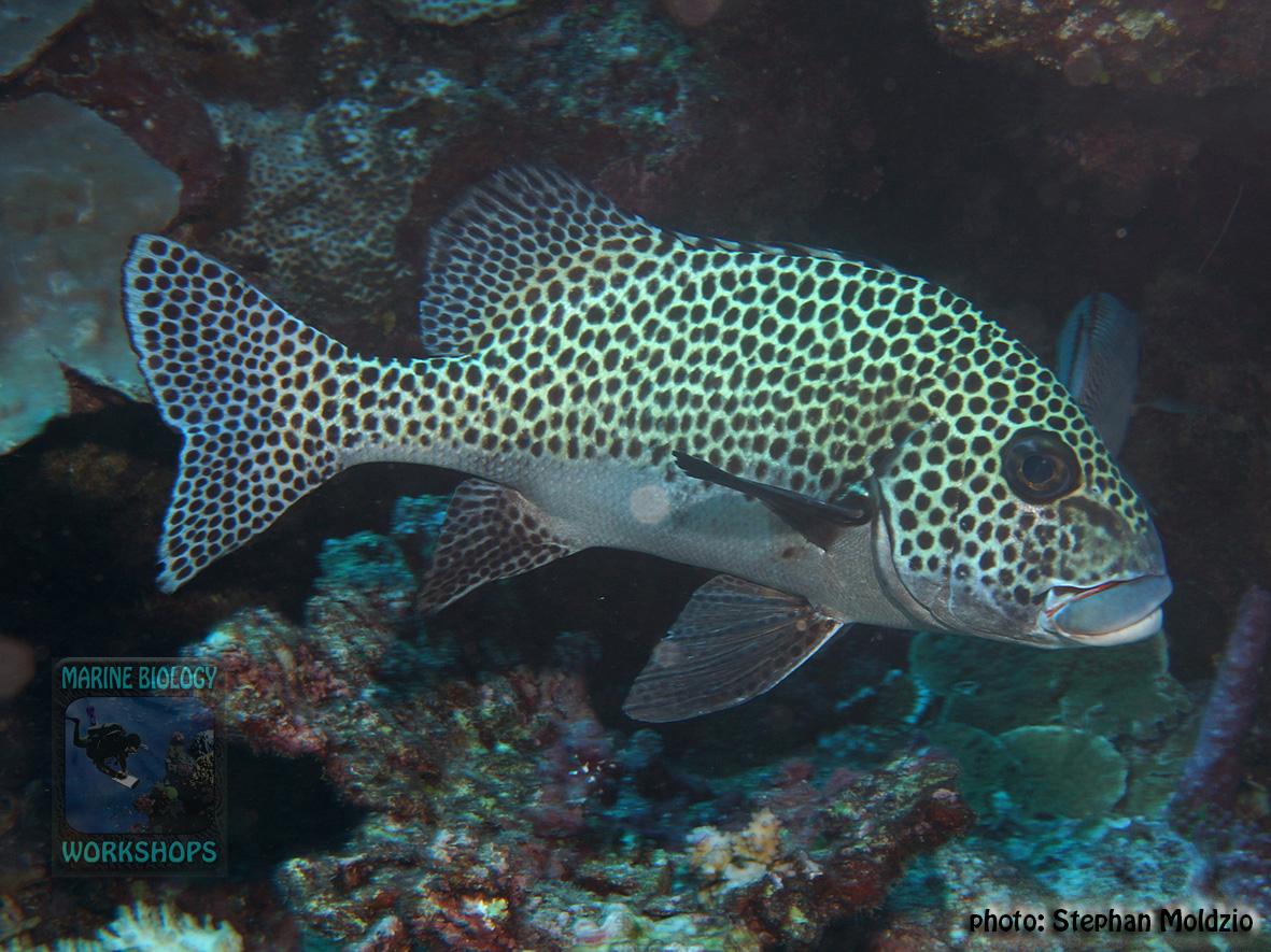 Plectorhinchus-chaetodonoides-DSC03579