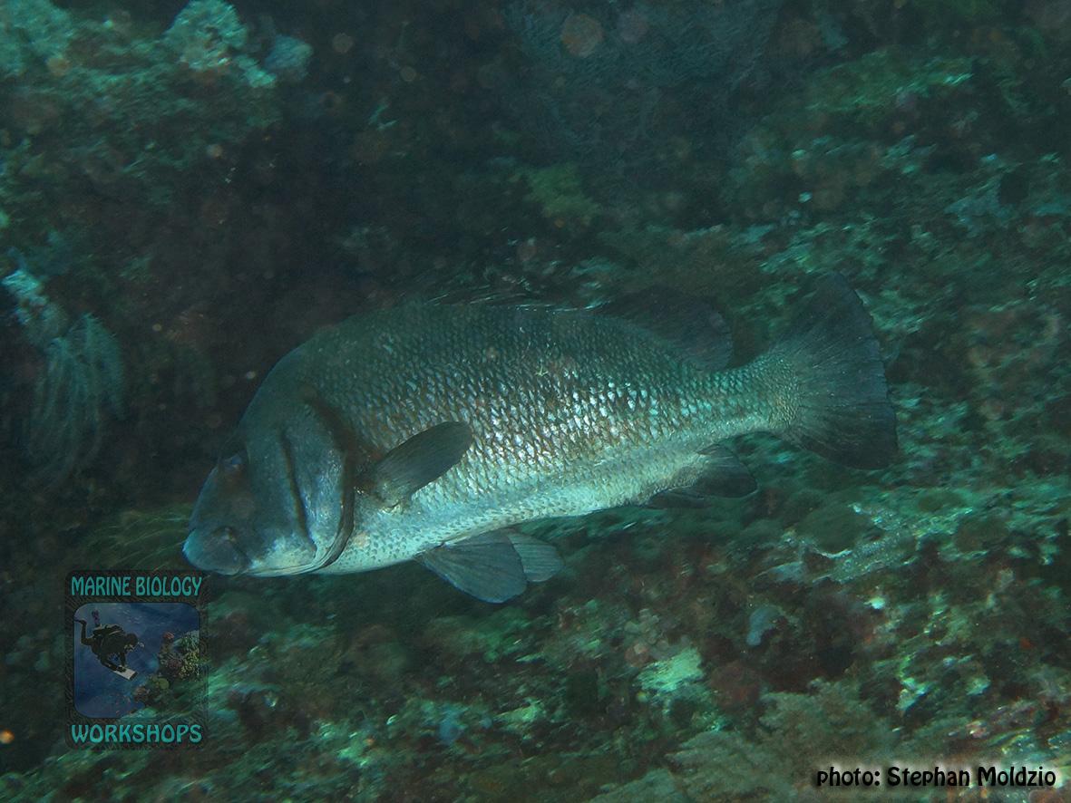 Plectorhinchus gibbosus DSC02624
