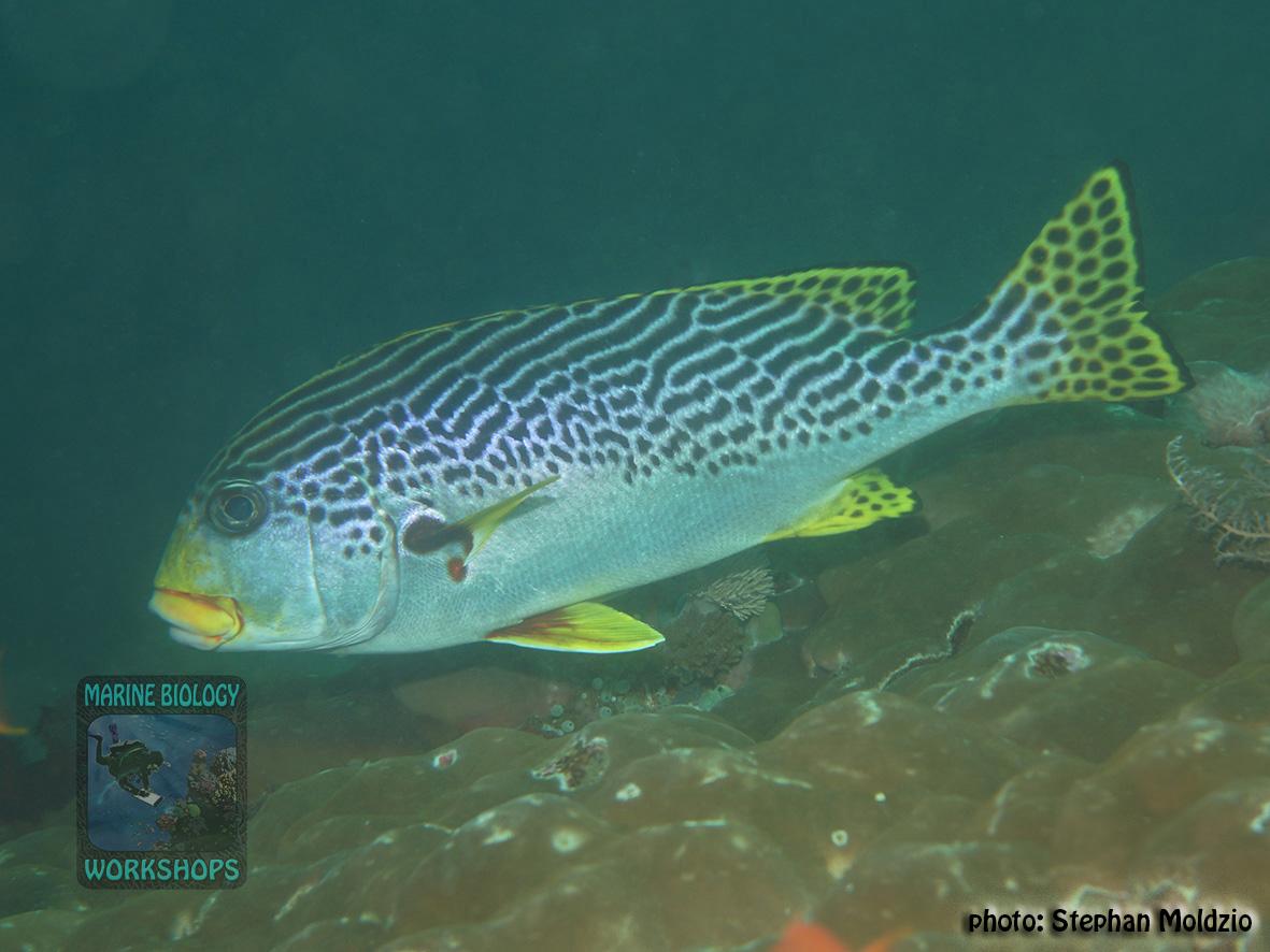 Plectorhinchus lineatus DSC08449