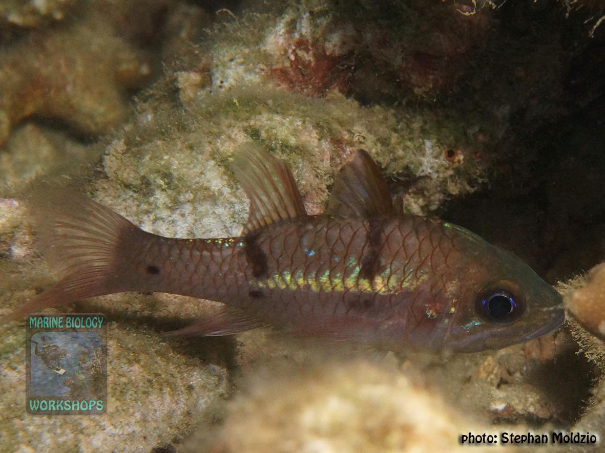 Pristicon-rhodopterus-DSC03146