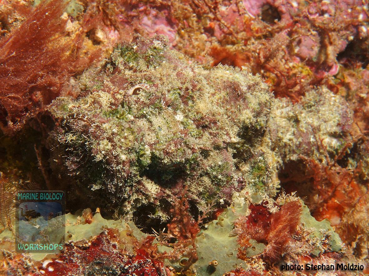 Scorpaenopsis-diabolus-DSC04357