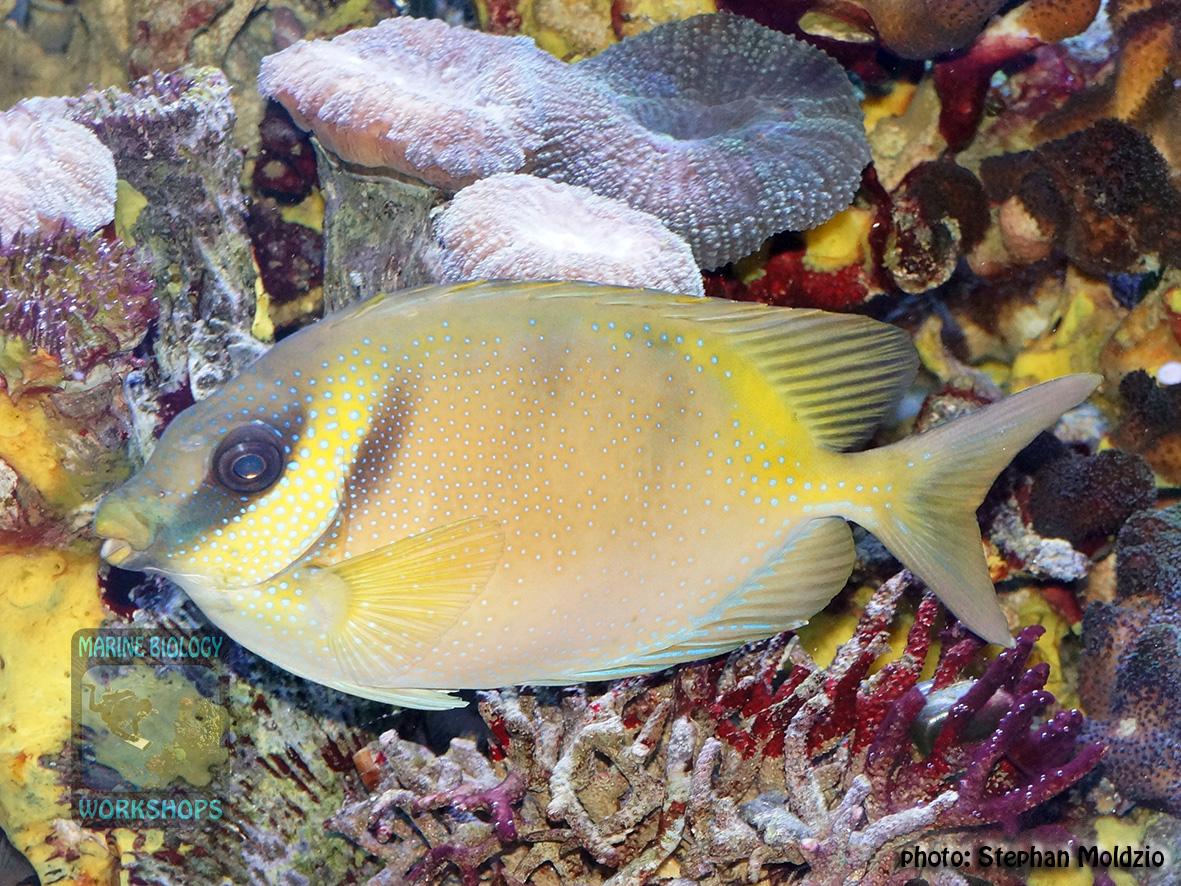 Siganus corallinus DSC00066