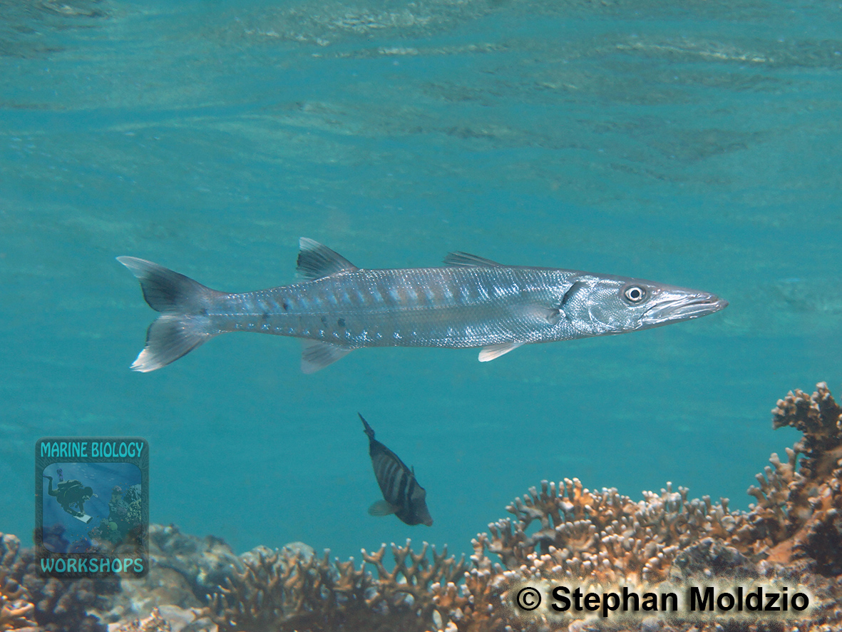 Sphyraena-barracuda-DSC06114