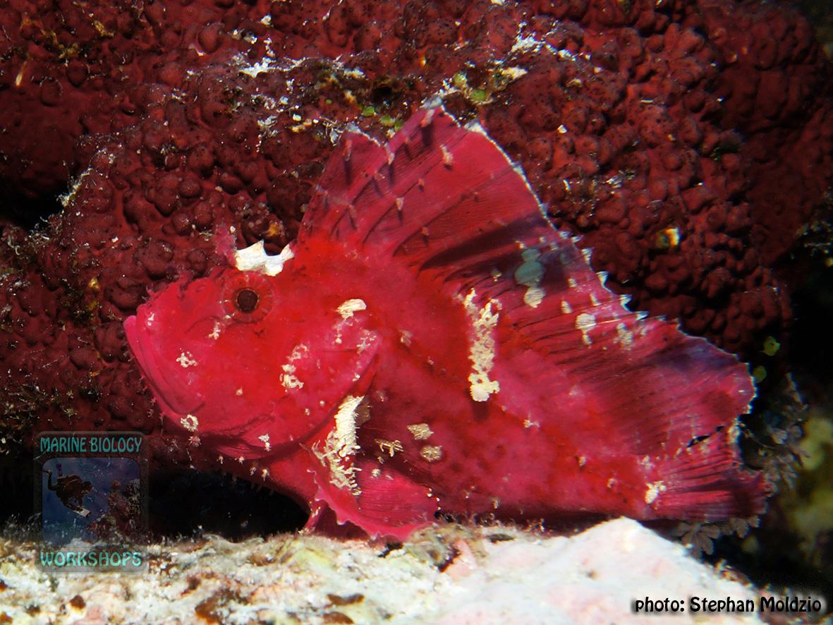 Taenionotus-triacanthus-DSC00775