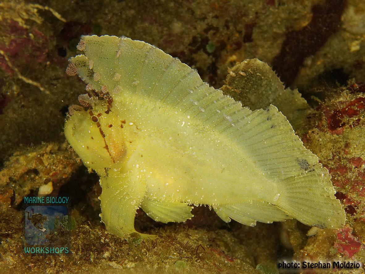 Taenionotus triacanthus DSC09870