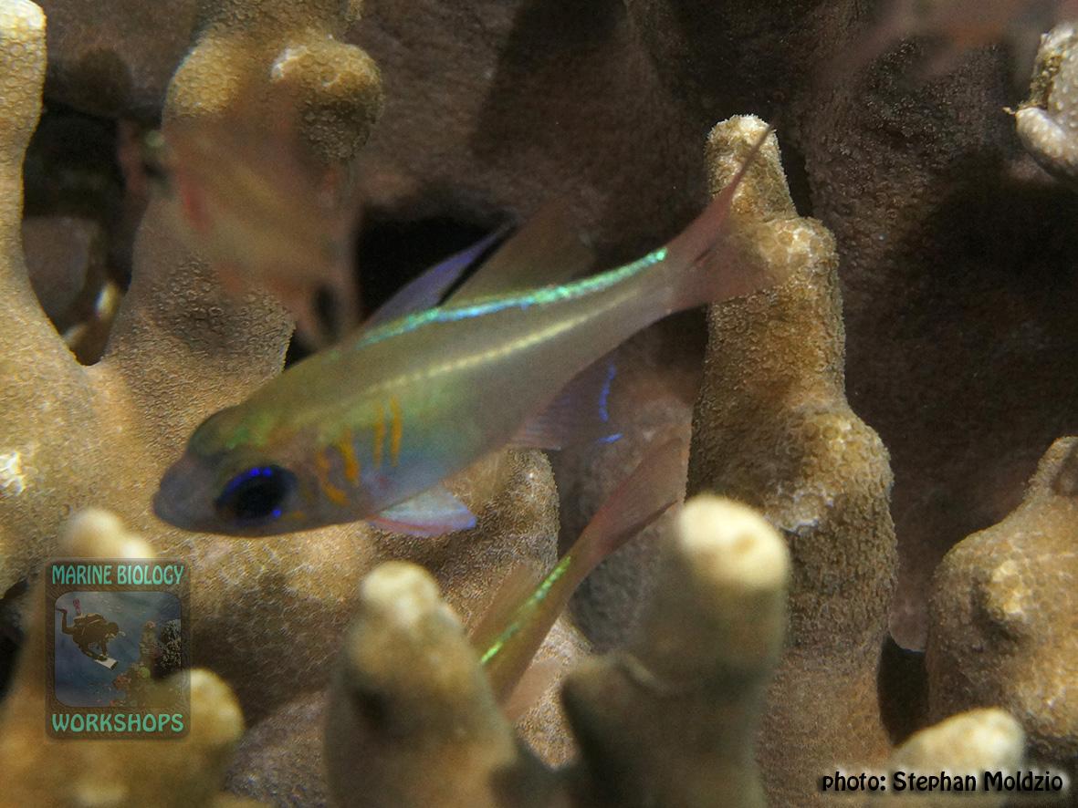 Zoramia-leptacantha-DSC03108