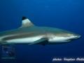 Carcharhinus-melanopterus-DSC01905