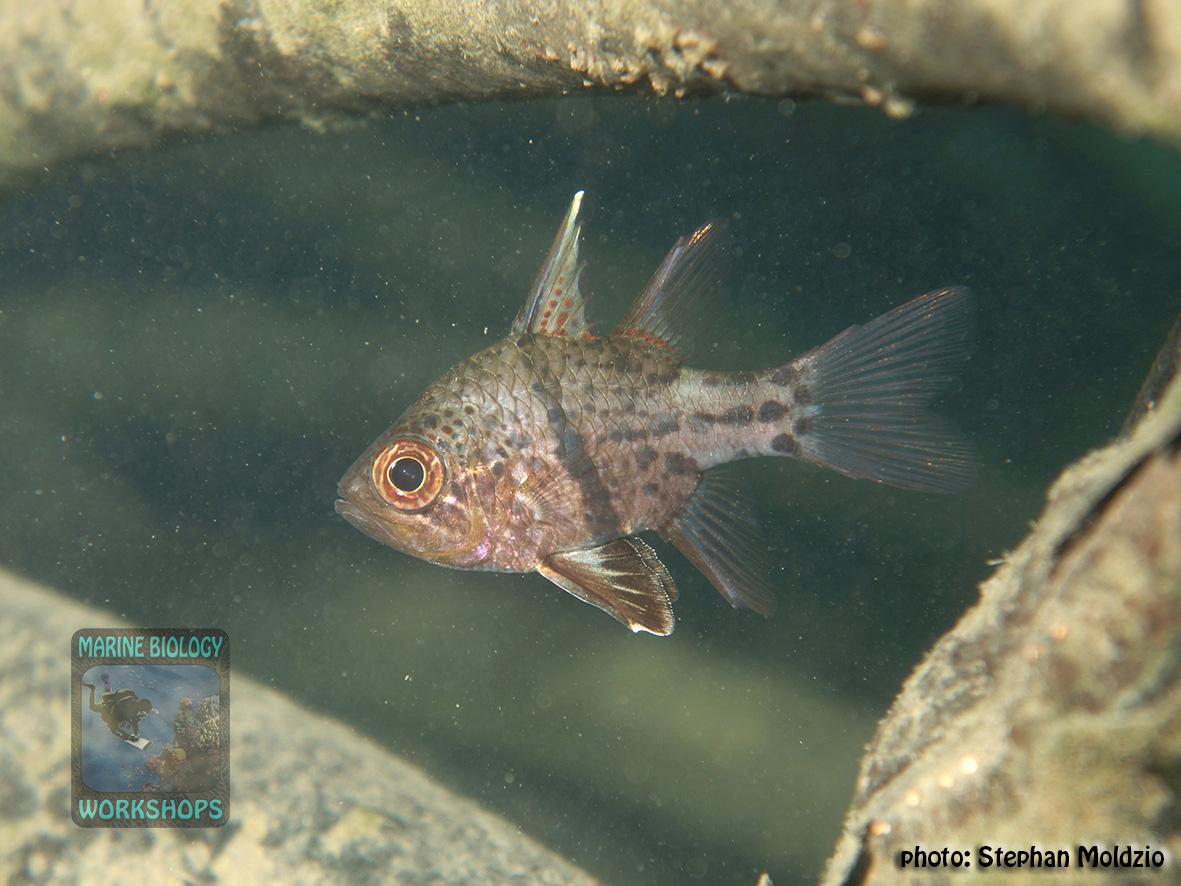 Orbiculate cardinalfish (Sphaeramia orbicularis)