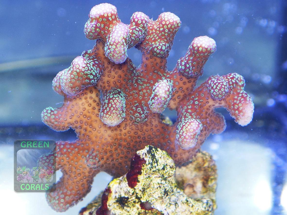 m1_Stylophora pistillata `creme´_DSC08692