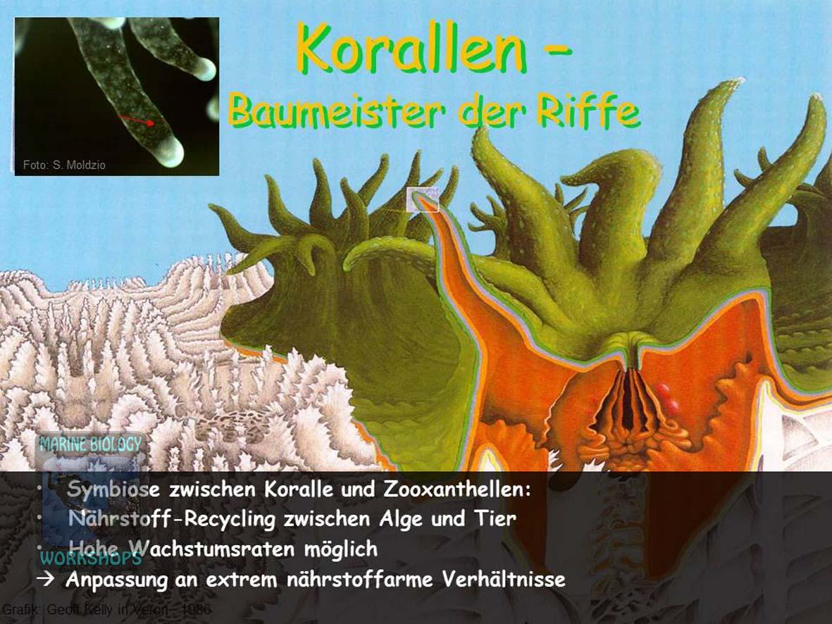 Korallen-Baumeister