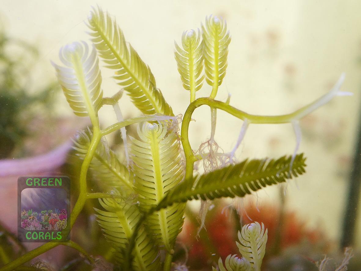 Caulerpa taxifolia DSC01221