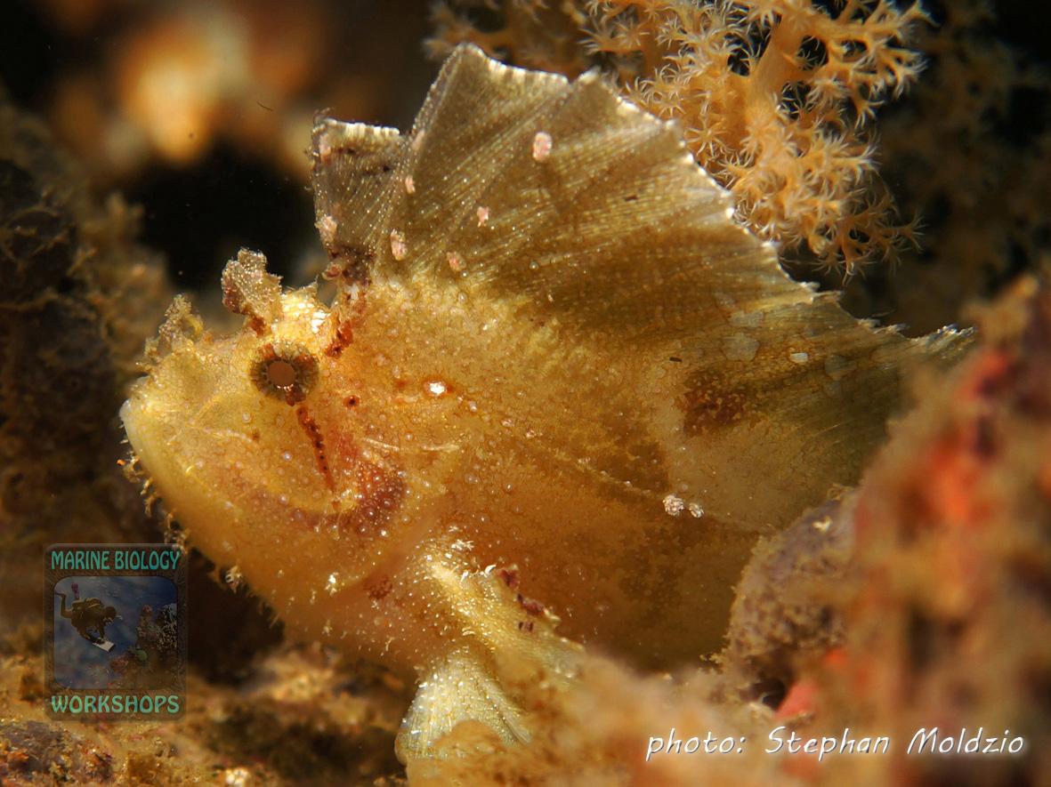 Taenionotus-triacanthusDSC09791
