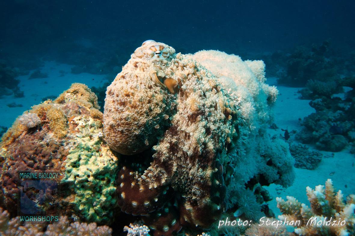 Octopus cyaneus