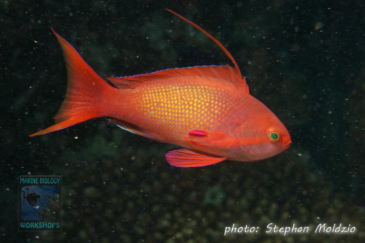 Pseudanthias squamipinnis,m
