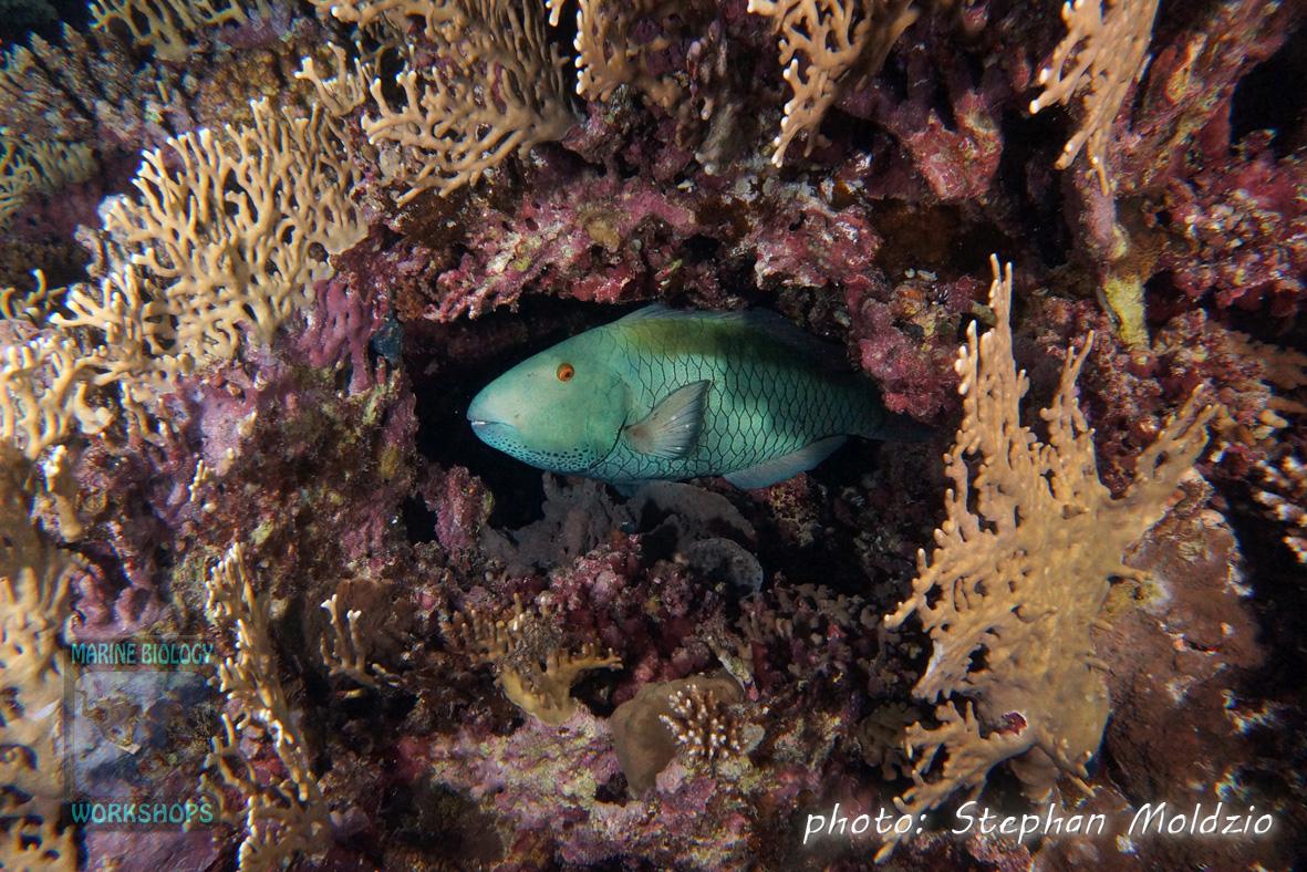 Cetoscarus bicolor, TP