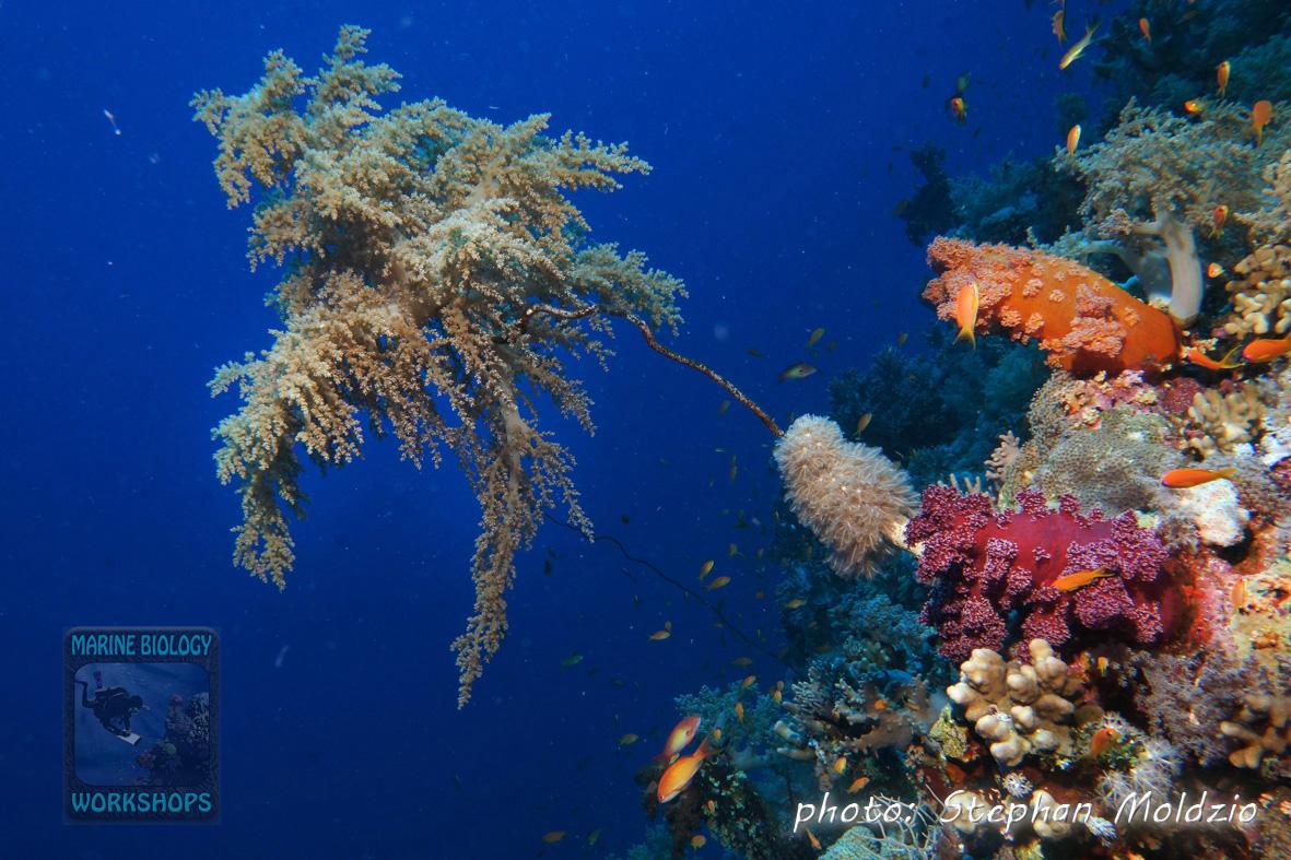 Lithophyton sp. on dead whip coral