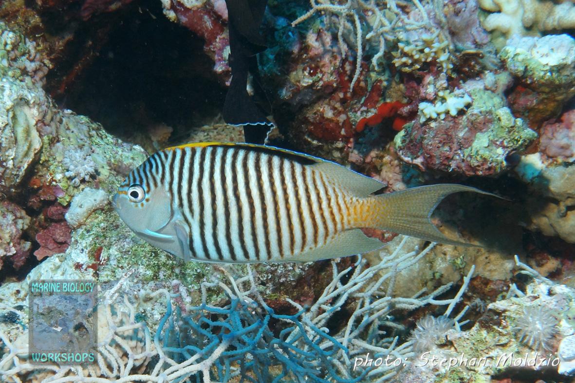 Genicanthus caudovittatus, male