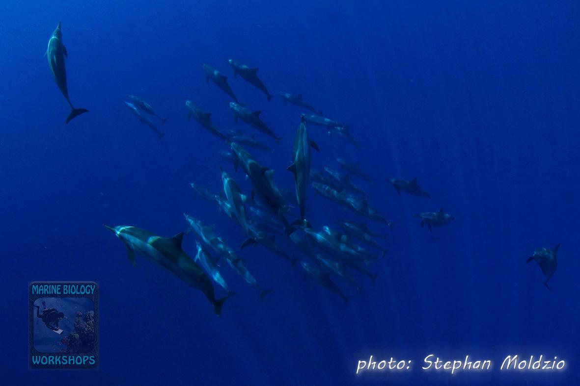Habili Ghadeer - Pod of 45 Spinner dolphins