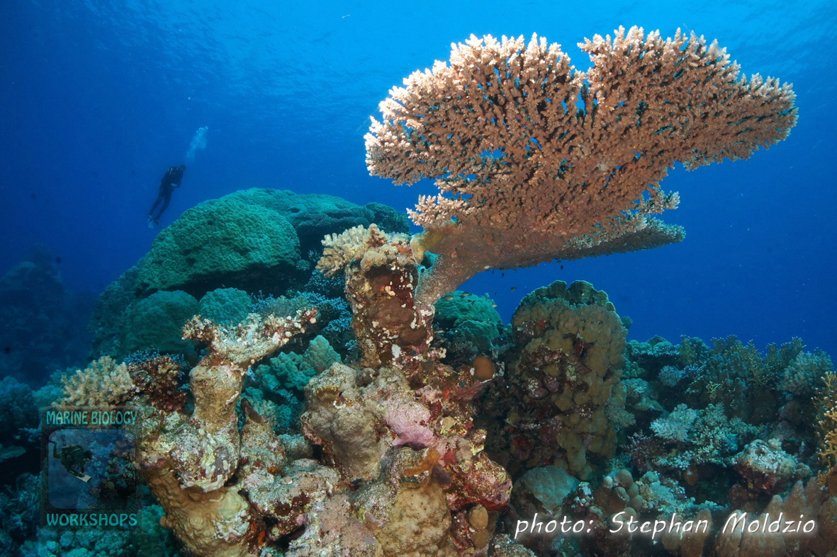 Table coral at Angel reef