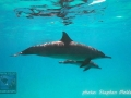 Dolphin mother & baby at Sataya