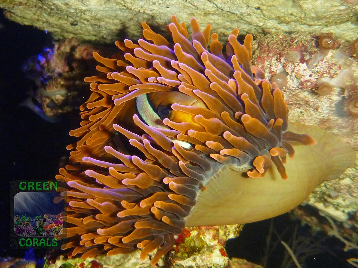 Entacmaea-quadricolor-rot´_P1160356