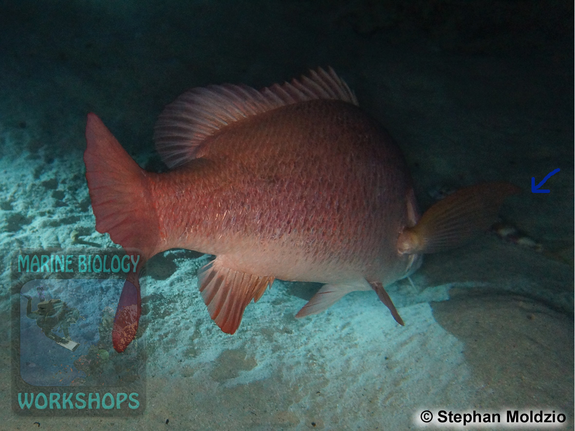 3DSC03411-Lutjanus-argentimaculatus-cSM