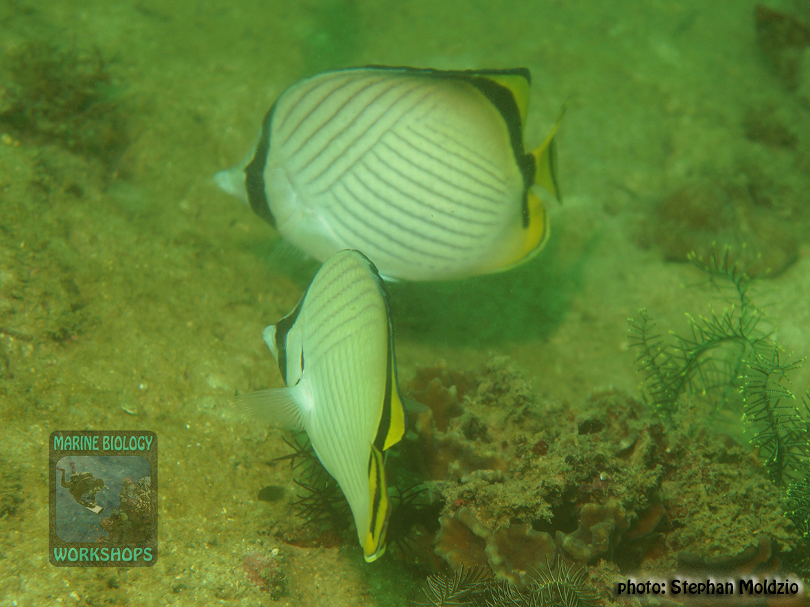 Chaetodon vagabundus DSC08141
