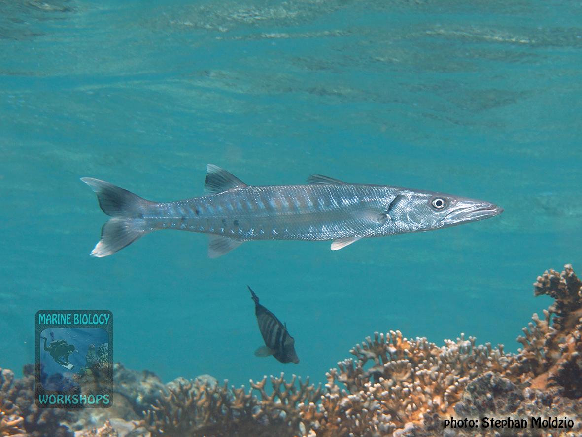 Sphyraena barracuda DSC06114