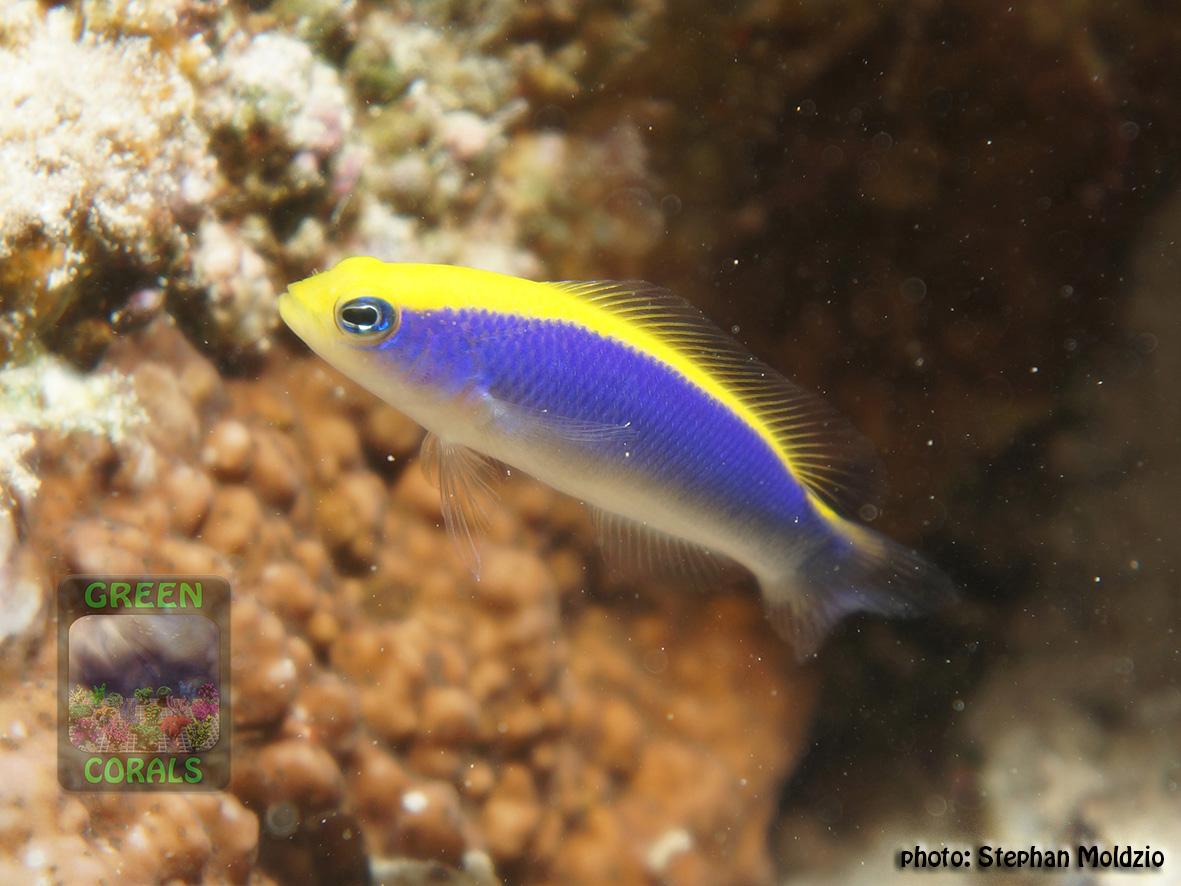 PER2 Pseudochromis flavivertex DSC07865